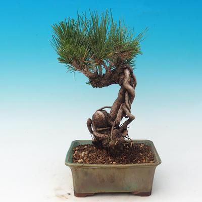 Outdoor bonsai-Pinus thunbergii - Thunberg Pine - 3