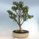 Indoor bonsai - Buxus harlandii - Cork boxwood - 3/6
