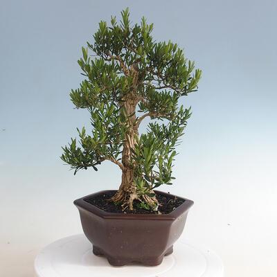 Indoor bonsai - Buxus harlandii - Cork boxwood - 3