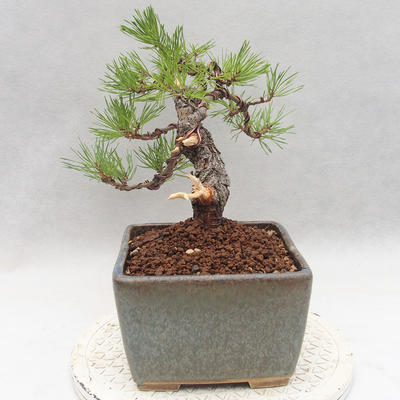 Outdoor bonsai - Pinus sylvestris - Scots pine - 3