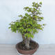 Outdoor bonsai Carpinus betulus- Hornbeam VB2020-485 - 3/5