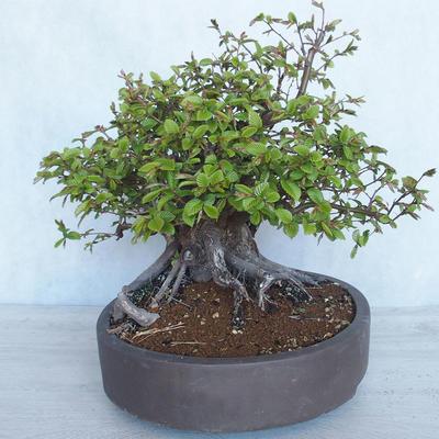 Outdoor bonsai Carpinus betulus- Hornbeam VB2020-487 - 3