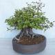 Outdoor bonsai Carpinus betulus- Hornbeam VB2020-487 - 3/5