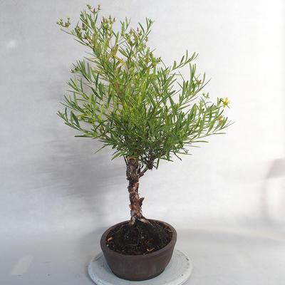 Outdoor bonsai- St. John's wort - Hypericum - 3