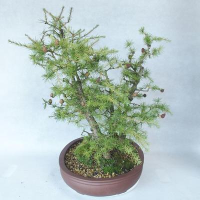 Outdoor bonsai -Larix decidua - Larch - 3