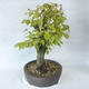 Outdoor bonsai - Hornbeam - Carpinus betulus - 3/5