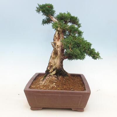 Outdoor bonsai - Juniperus chinensis - Chinese juniper - 3