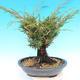 Yamadori Juniperus chinensis - juniper - 3/6