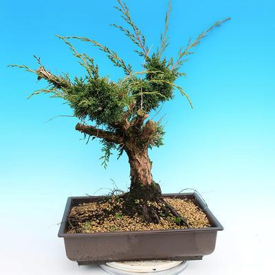 Yamadori Juniperus chinensis - juniper - 3