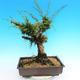 Yamadori Juniperus chinensis - juniper - 3/5