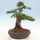 Outdoor bonsai - Juniperus chinensis - Chinese juniper - 3/5
