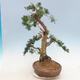 Outdoor bonsai - Juniperus chinensis - Chinese juniper - 3/6