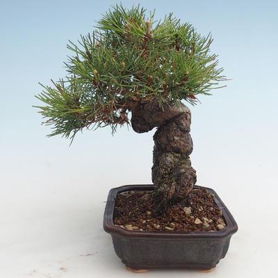 Pinus thunbergii - Thunberg Pine VB2020-572 - 3