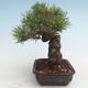 Pinus thunbergii - Thunberg Pine VB2020-572 - 3/5