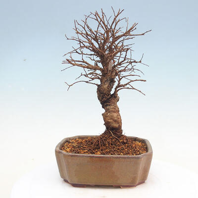 Outdoor bonsai - Zelkova - Zelkova NIRE - 3