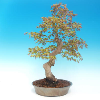 Outdoor bonsai - Acer pamnatum - Japanese maple - 3