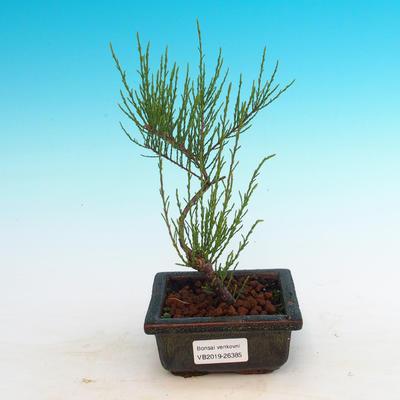 Outdoor bonsai - Tamaris parviflora - 3