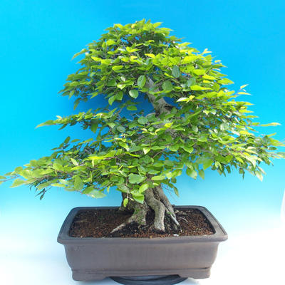 Outdoor bonsai -Carpinus CARPINOIDES - Korean Hornbeam - 3
