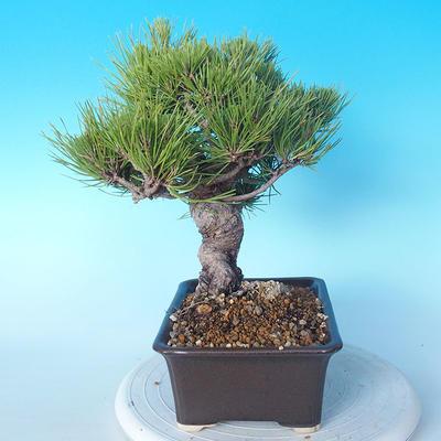 Pinus thunbergii - Thunberg Pine - 3