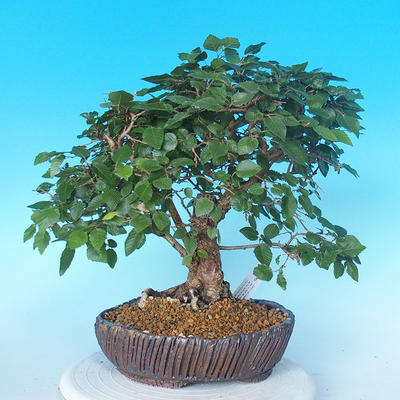 Outdoor bonsai -Carpinus CARPINOIDES - Korean Hornbeam - 3