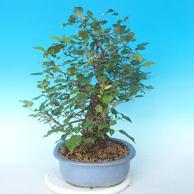 Outdoor bonsai - Japanese pear NASHI - Pyrus pyrifolia - 3