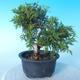 Outdoor bonsai - Juniperus chinensis ITOIGAWA - Chinese Juniper - 3/6