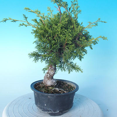 Outdoor bonsai - Juniperus chinensis ITOIGAWA - Chinese Juniper - 3