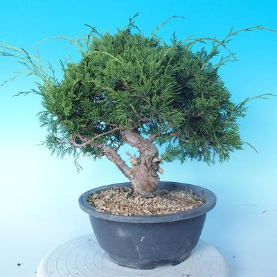 Outdoor bonsai - Juniperus chinensis ITOIGAWA - Chinese Juniper - 3