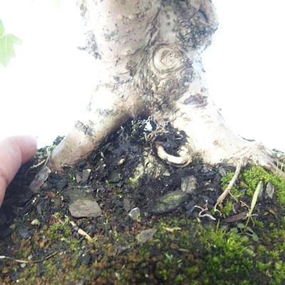 Outdoor bonsai-Acer campestre-Maple Babyb 408-VB2019-26807 - 3