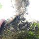 Outdoor bonsai-Acer campestre-Maple Babyb 408-VB2019-26807 - 3/5