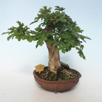 Outdoor bonsai-Acer campestre-Maple Baby 408-VB2019-26808 - 3