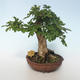 Outdoor bonsai-Acer campestre-Maple Baby 408-VB2019-26808 - 3/3