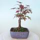 Outdoor bonsai - Maple palmatum DESHOJO - Maple palmate - 3/5
