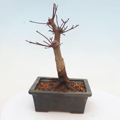 Outdoor bonsai - Maple palmatum DESHOJO - Japanese Maple - 3