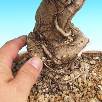 Pinus thunbergii - Pine thunbergova - 3