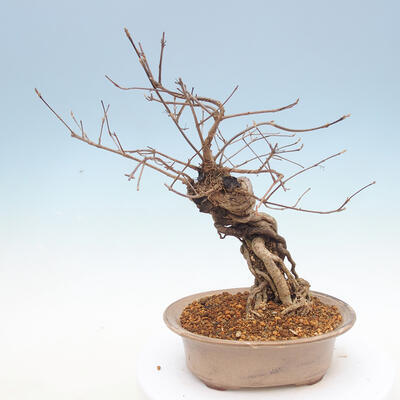 Outdoor bonsai - beautiful Callicarpa - 3