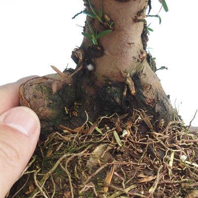 Outdoor bonsai - Taxus bacata - Red yew - 3