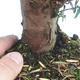 Outdoor bonsai - Taxus bacata - Red yew - 3/3