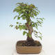 Outdoor bonsai -Carpinus CARPINOIDES - Korean Hornbeam - 3/5
