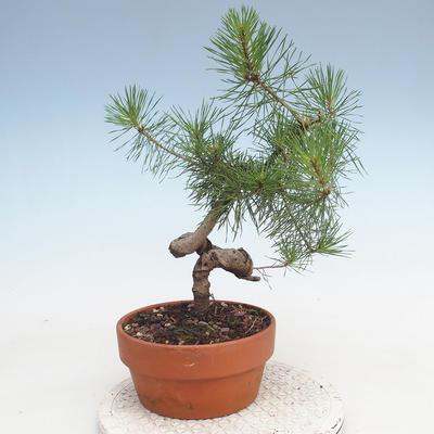 Outdoor bonsai - Pinus Sylvestris - Scots pine - 3