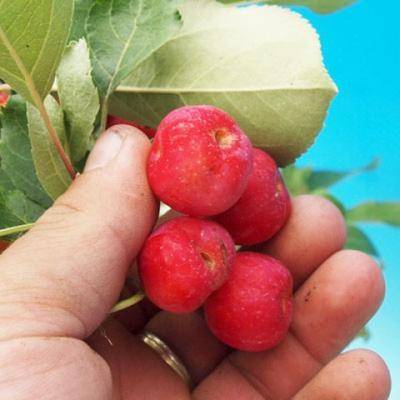 Outdoor bonsai -Malus Halliana - fruited apple - 3