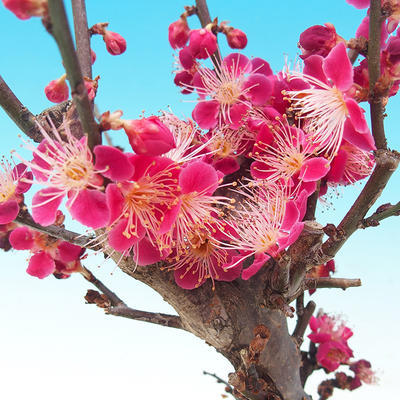 Outdoor bonsai -Japanese apricot - Prunus Mume - 3
