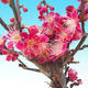 Outdoor bonsai -Japanese apricot - Prunus Mume - 3/6