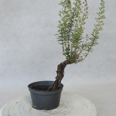 Outdoor bonsai - Satureja mountain - Satureja montana - 3