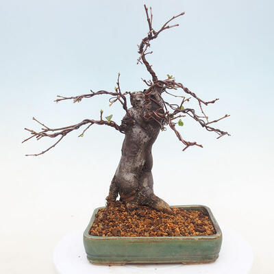 Outdoor bonsai - Pseudocydonia sinensis - Chinese quince - 3