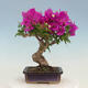 Outdoor bonsai - Pseudocydonia sinensis - Chinese quince - 3/7
