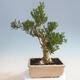 Indoor bonsai - Buxus harlandii - Cork boxwood - 3/7
