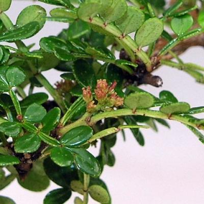 Indoor bonsai - Zantoxylum piperitum - Peppercorn - 3