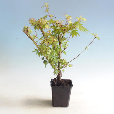 Outdoor bonsai-Acer palmatum Koto Maru - 3