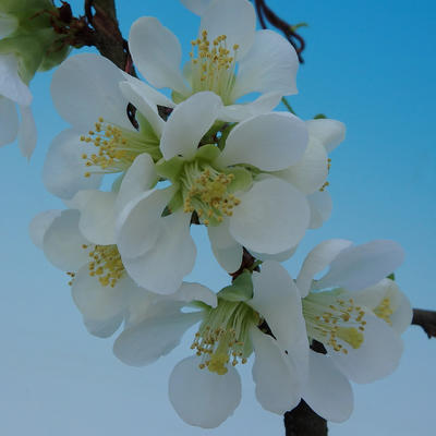 Outdoor bonsai - Chaenomeles superba jet trail - White quince - 3